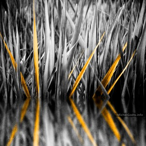 The Golden Sweet Flags :: Organic abstract realism photography - Artwork © Michel Godts