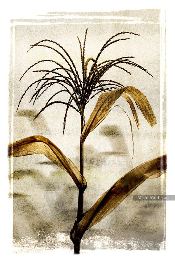 Corn Tassel Twilight :: Botanical photo illustration - Artwork © Michel Godts